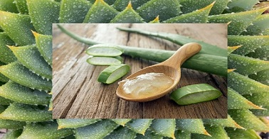 Aloe vera medicinal benifits